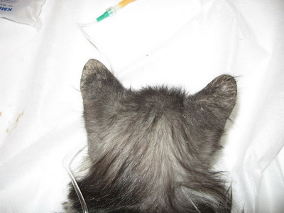 این مو وجود روی نشانه گوش به لاله بر بیماری ابتلا است